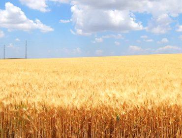 Производство на зърнени и маслодайни култури в с. Варненци | ЗК Прогрес