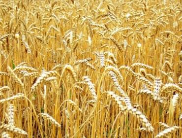 Зърнопроизводство | ОКС Косматица