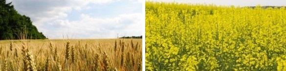 Зърнопроизводител в Кнежа | ЕТ Светлин Илчовски