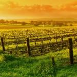 Производство на вино с марка Хестия от бяло грозде сорт Ркацители