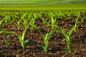 Производство на сортови семена, посадъчен материал и фуражи   Агро-ГМ