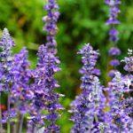 Етерично-маслени растения | Лар ООД