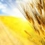 ЗПК Извор – зърнопроизводство в област Перник