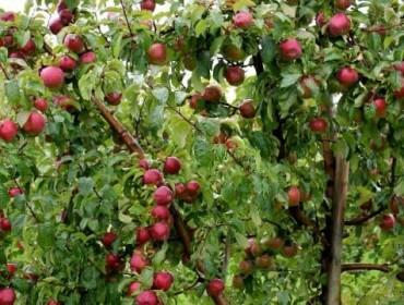 Посадъчен материал за овошки от разсадник в Пловдив – ЗП Стамен Попов