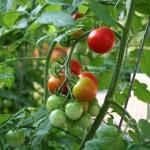 Как да използвате содата за хляб в градината