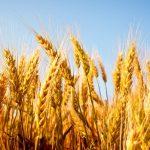 Отглеждане на зърнени култури и производство на фуражи и хранителни продукти | Бобиком – Боян Динчев ЕТ