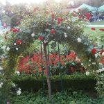Рози и декоративни храсти | Семейство Димови