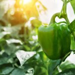 pepper-capsicum-green-farm-field-plant-tree-agriculture-bell-garden-sweet-growing-grow-hot-paprika_t20_ynv6pr-scaled